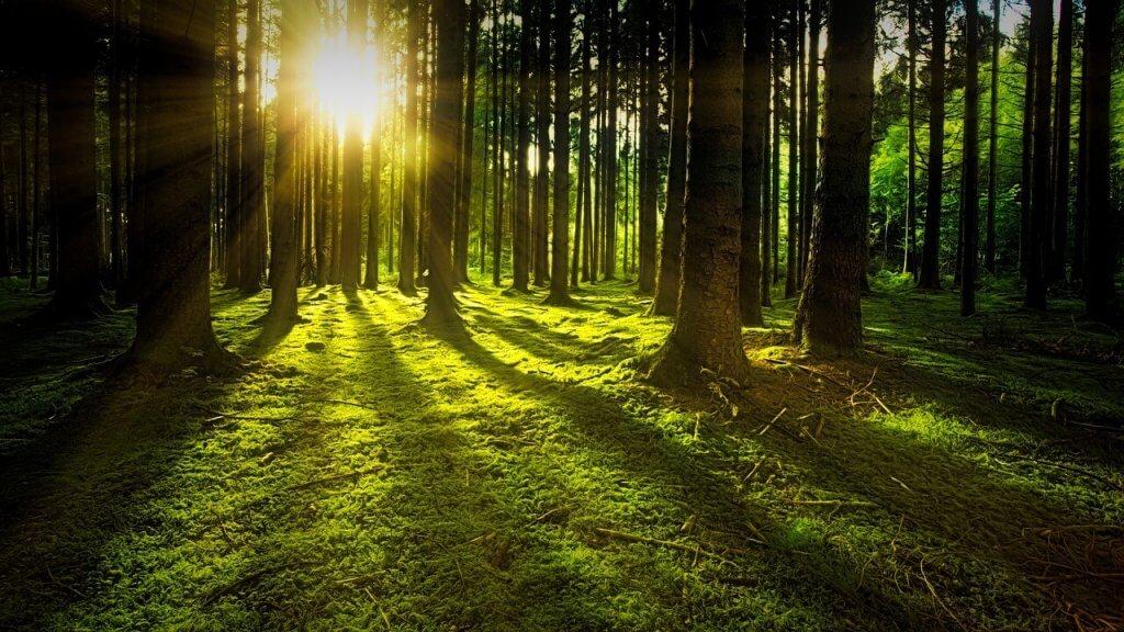 Morgon skog